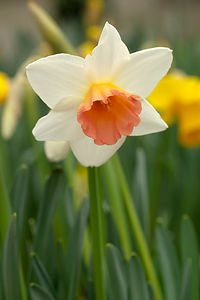 Narcissus Accent, grown in Cornwall.