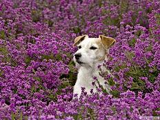 cachorro em campo de lavanda