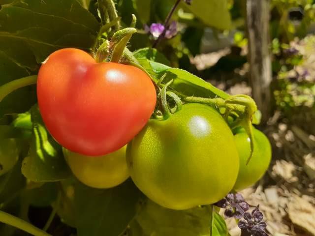 A single ripe tomato