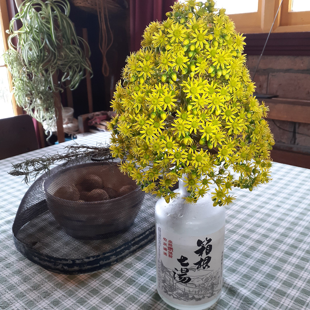 The terminal flower from a Tree Aeonium decorates a glass jar on a kitchen table