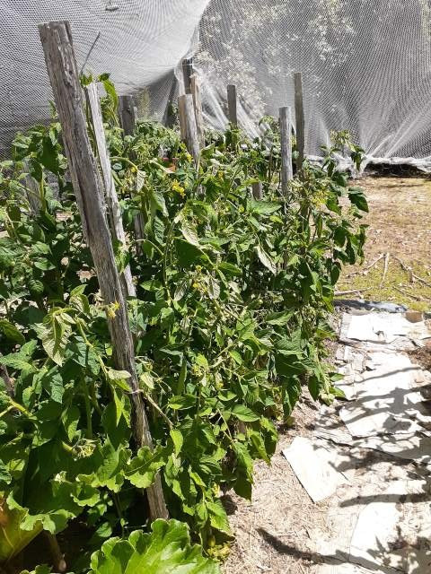 Staked tomato plants in a garden enclosure
