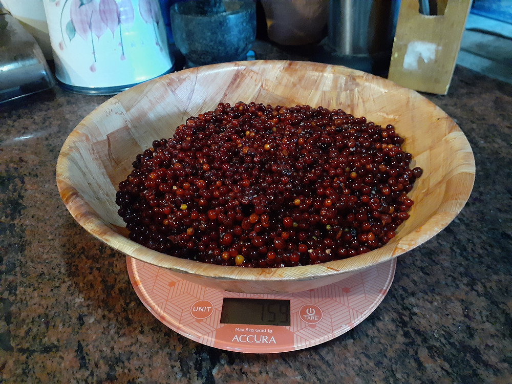 Native currants being weighed a scale