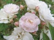 Spray of Blooms May 22, 2012