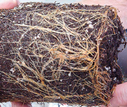 These roots have nowhere to go, so they wrap around the plant, crowding soil and water.