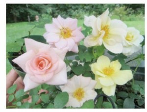 Clockwise left to right August 12, 2012 – 'First Impression' x 'Everblooming Pillar 124,' 'First Impression' x 'Everblooming Pillar 124,' 'First Impression' x 'Abigail Adams Rose,' 'First Impression' x 'Abigail Adams Rose,' 'Everblooming Pillar 124′ x unknown, 'First Impression' x 'Everblooming Pillar 124′