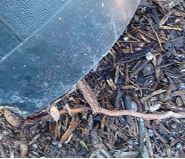 Even potted plants can develop woody roots, as seen here, growing into the ground.