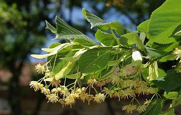 heilpflanze-linde.jpg