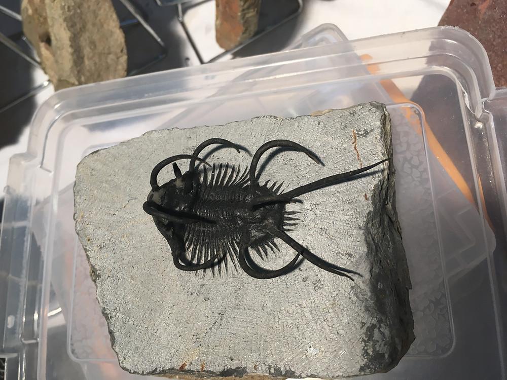 Hardly damage trilobite