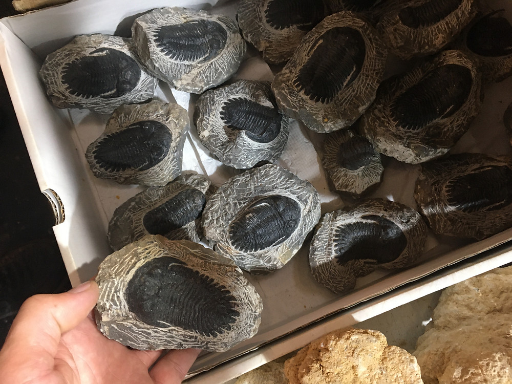 Fake Hollardops trilobites