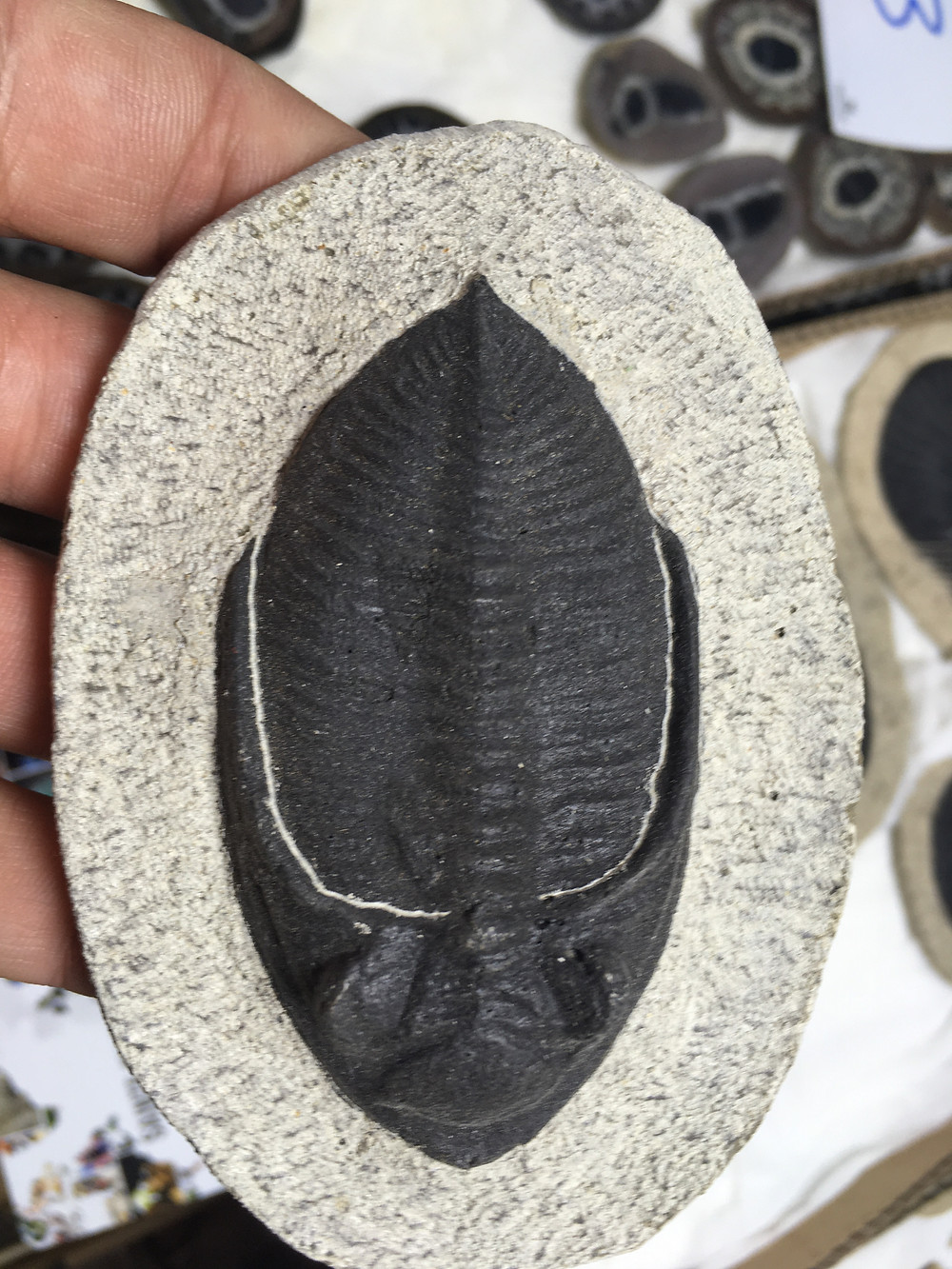 Falso Zlichovaspis trilobite
