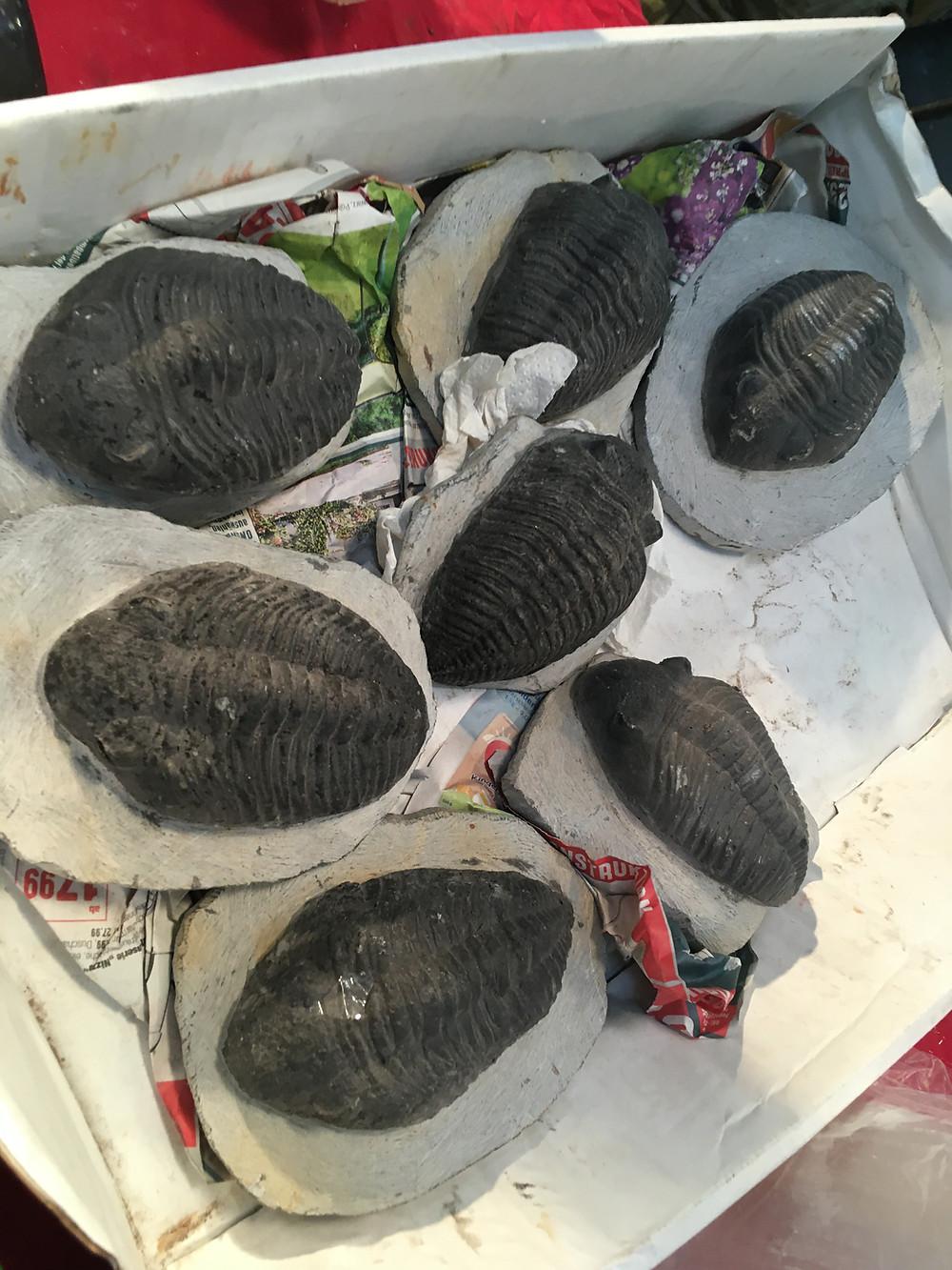 Super fake Drotops trilobite Boxes
