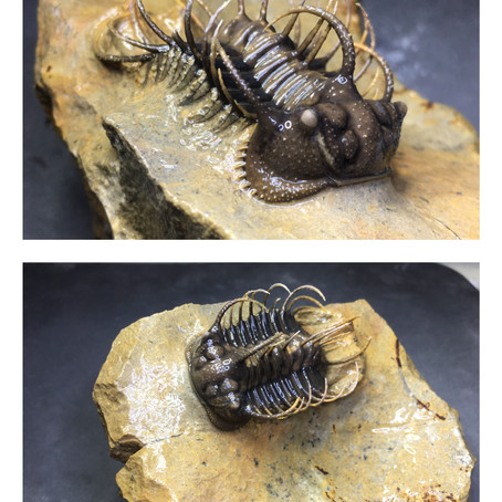 Prep-story of devonian trilobite Koneprusia sp. from Issimoure
