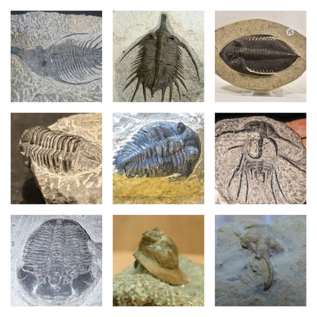 Are trilobites common? Advice on buying trilobites guide...