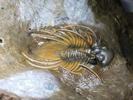 Prep-story of a Kolihapeltis trilobite
