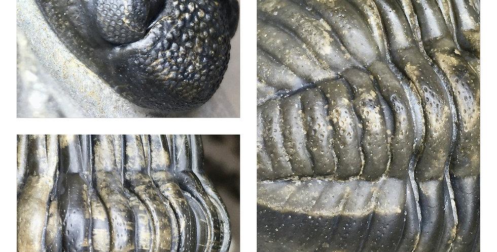 Pedinoparios trilobite Bou Dib Formation
