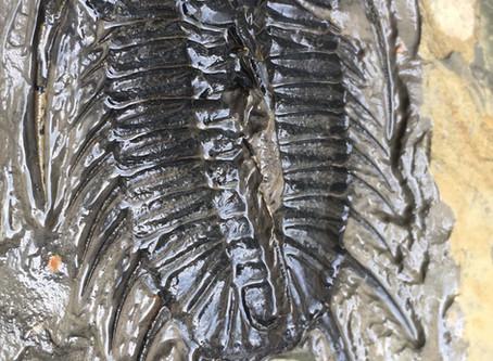 Prep-story of Olenoides vali trilobite