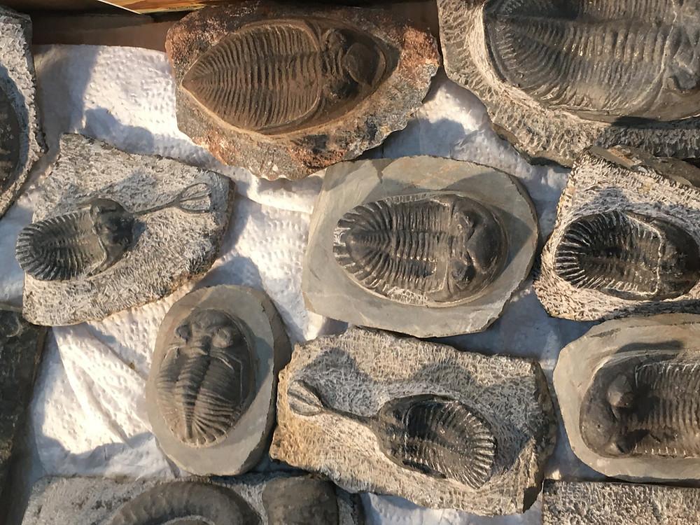 fake trilobites boxes