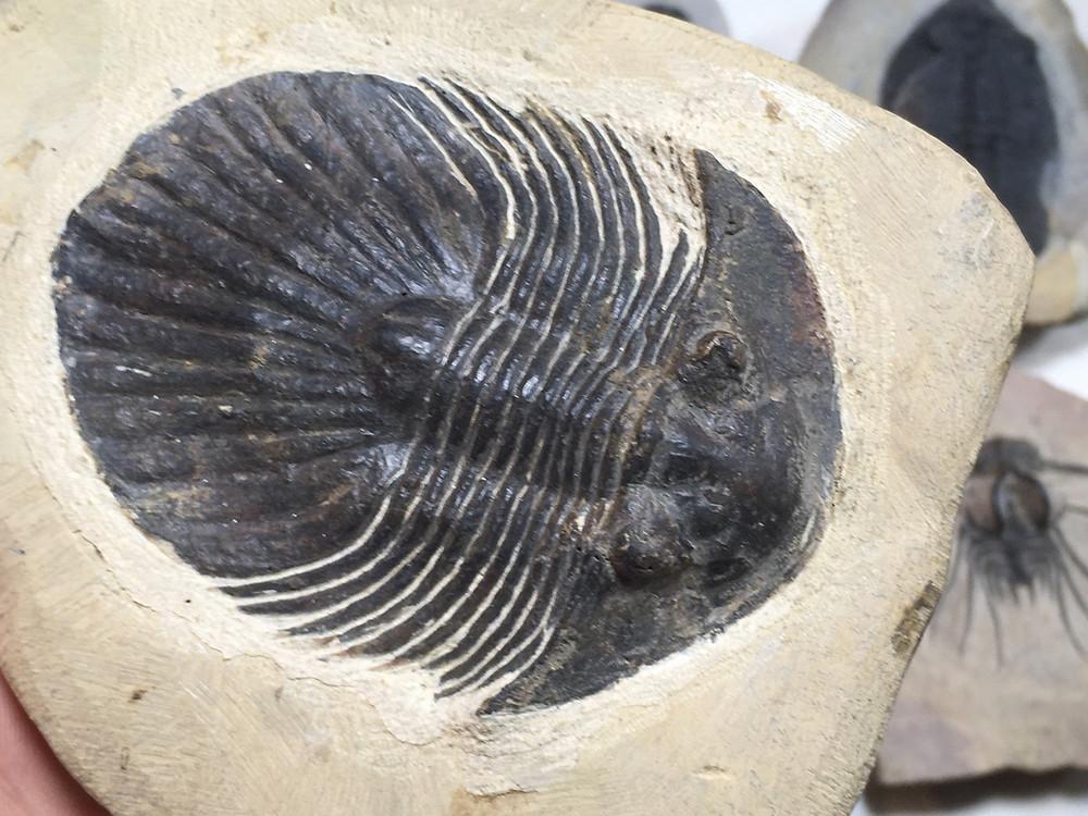 fake moroccan scutellid