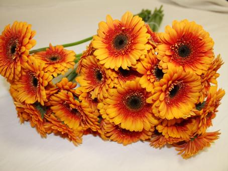 Bouquet de 3 Germinis 1,99 €