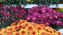 Spécial Toussaint - Chrysanthèmes 8,50€