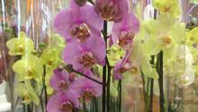 Orchidée Palaenopsis 7€99