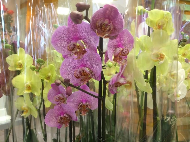 Orchidée promo Beflore