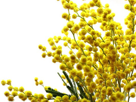 Bouquet de mimosa 4€