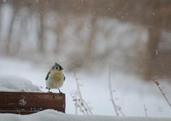 Winter Titmouse