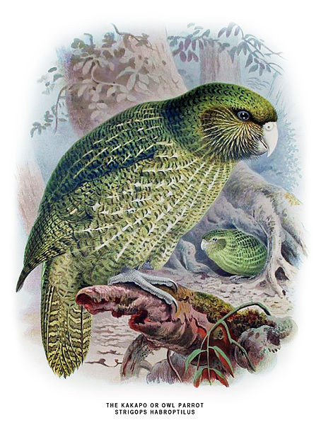 Portrait of a Kakapo Image Courtesy of Wikimedia Commons http://www.nzbirds.com/Buller2ndKakapoLg.html