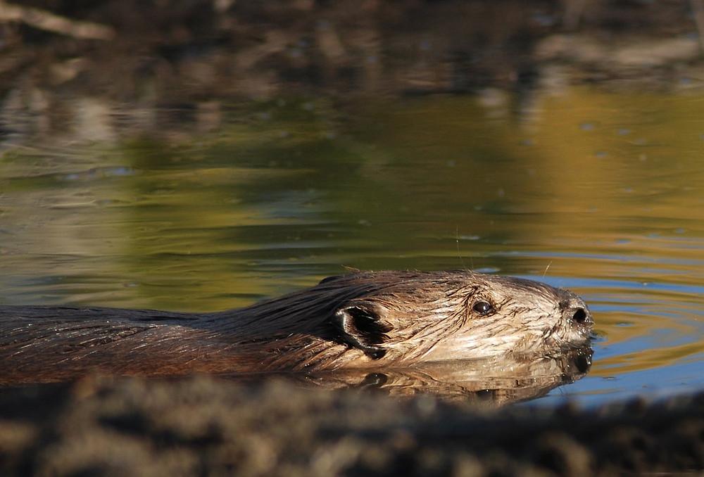 Beaver Image courtesy of Pixabay @ Skeeze