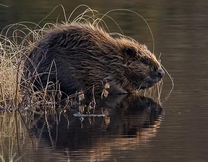European Beaver - https://commons.wikimedia.org/wiki/File:Beaver_pho34.jpg - Per Harald Olsen