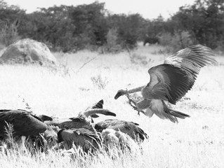 Vulture Culture: 10 intriguing facts into the life of vultures