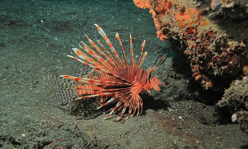 Red Lionfish - Bernard DUPONT https://commons.wikimedia.org/wiki/File:Red_Lionfish_(Pterois_volitans)_(6062526062).jpg