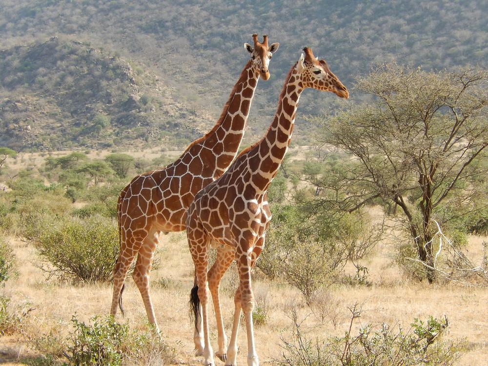 Reticulated Giraffe - Chris Guggiari-Peel
