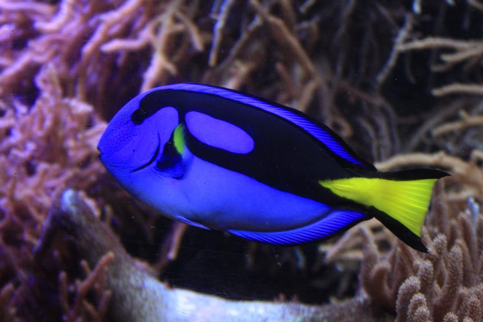 Blue Tang/ Regal Tang Image courtesy of Rhyanna Bunniss
