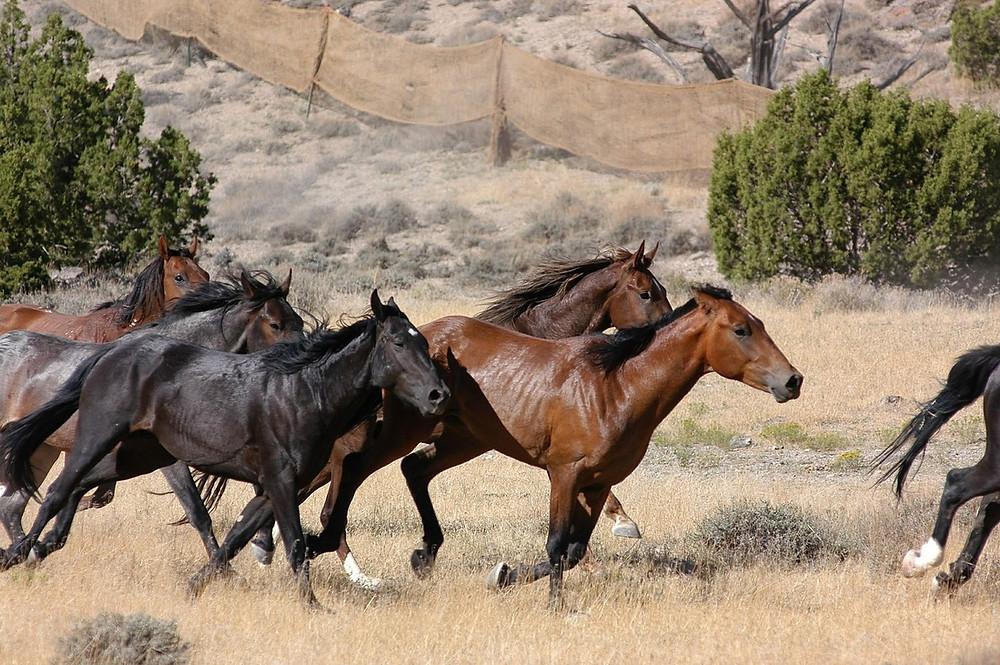 Fenced in wild horses Image courtesy of Pixabay @ Skeeze
