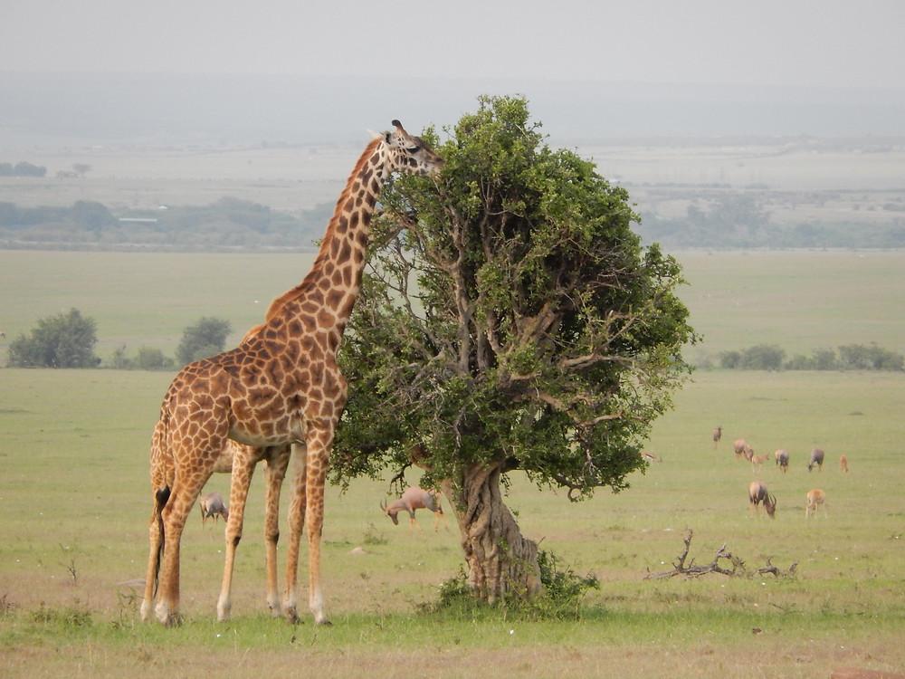 Masai Giraffe - Chris Guggiari-Peel