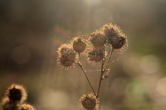 Burdock Image Courtesy of Flickr Creative Commons @ Yuzefe https://goo.gl/UogmdY