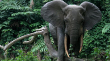 Eight Facts About the African Forest Elephant