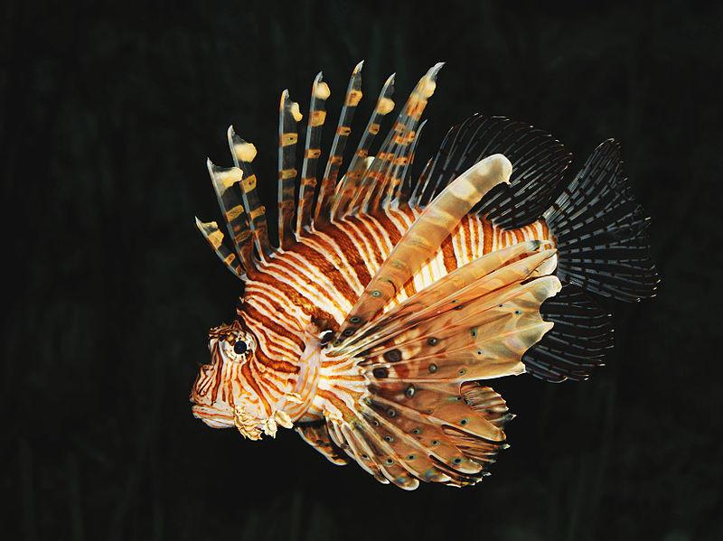 Common Lionfish - Michael Gäbler https://commons.wikimedia.org/wiki/File:Common_lion_fish_Pterois_volitans.jpg