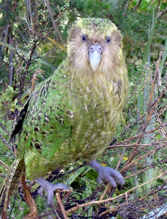 Sirocco Kakapo Image courtesy of Wikimedia Commons @ Department of Conservation https://commons.wikimedia.org/wiki/File:Sirocco_full_length_portrait.jpg