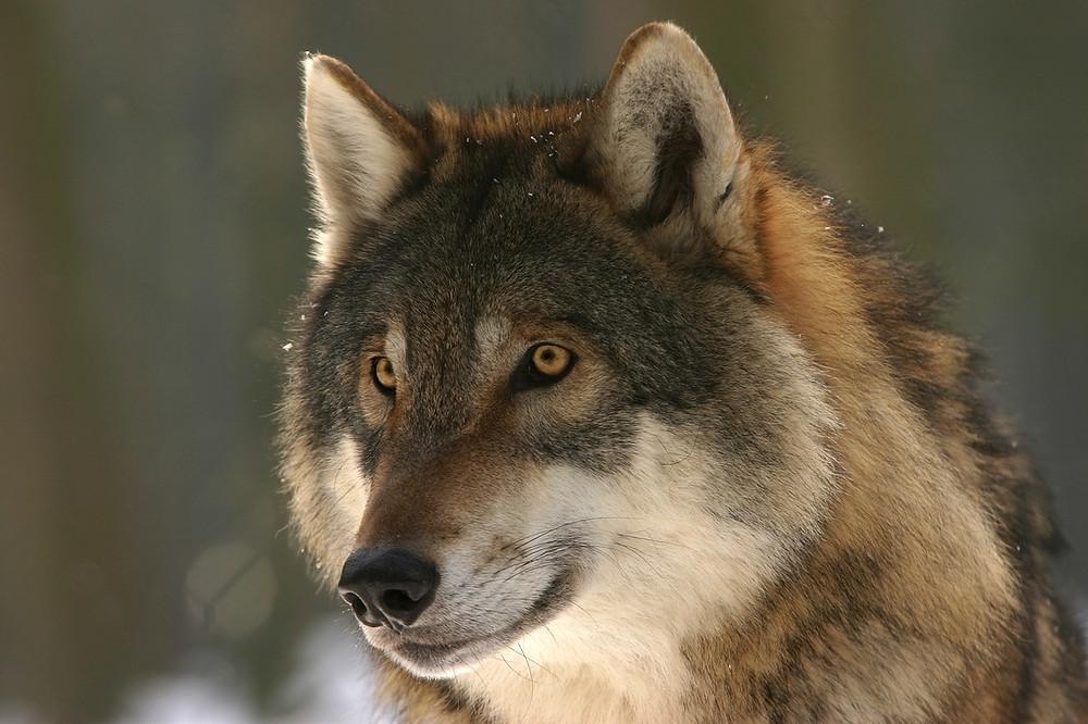 Wolf Image courtesy of Pixabay @ steffiheufelder