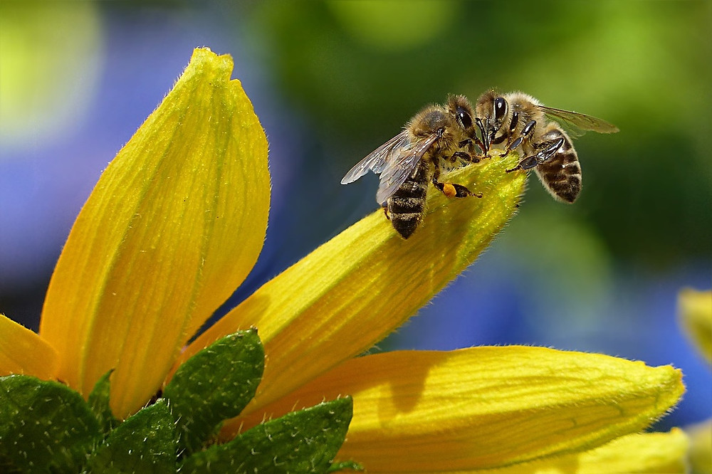 Bees converge Image courtesy of Pixabay @ oldiefan