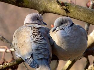 """2 collared doves Image courtesy of Pixabay """" evgeniypetrenko82"""