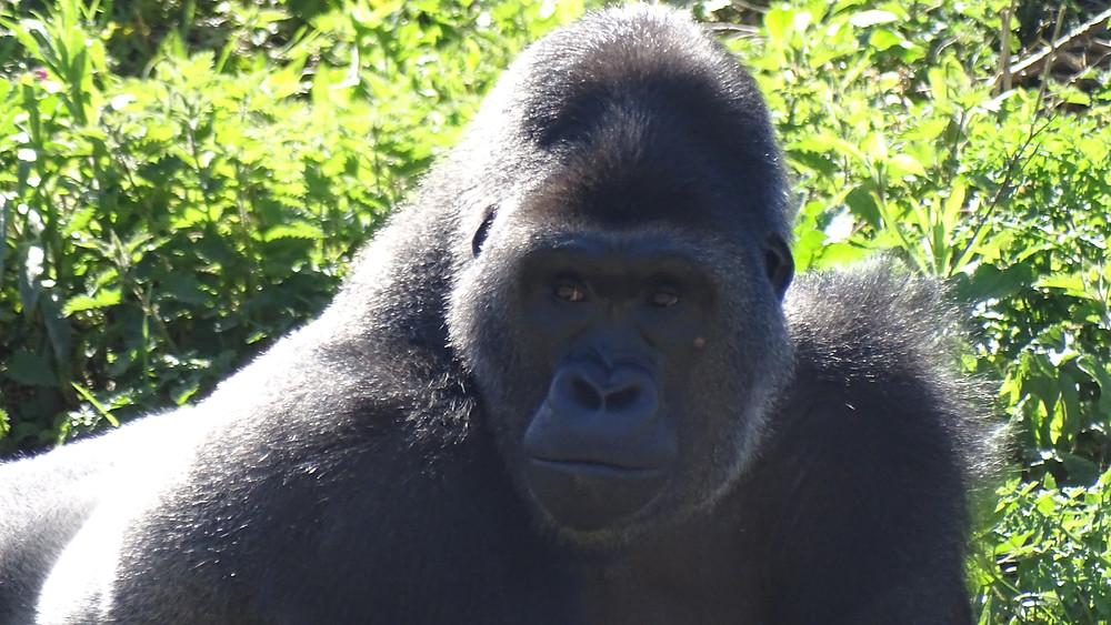 Wester Lowland Gorilla at UK Zoo, photo by Chris Guggiari-Peel