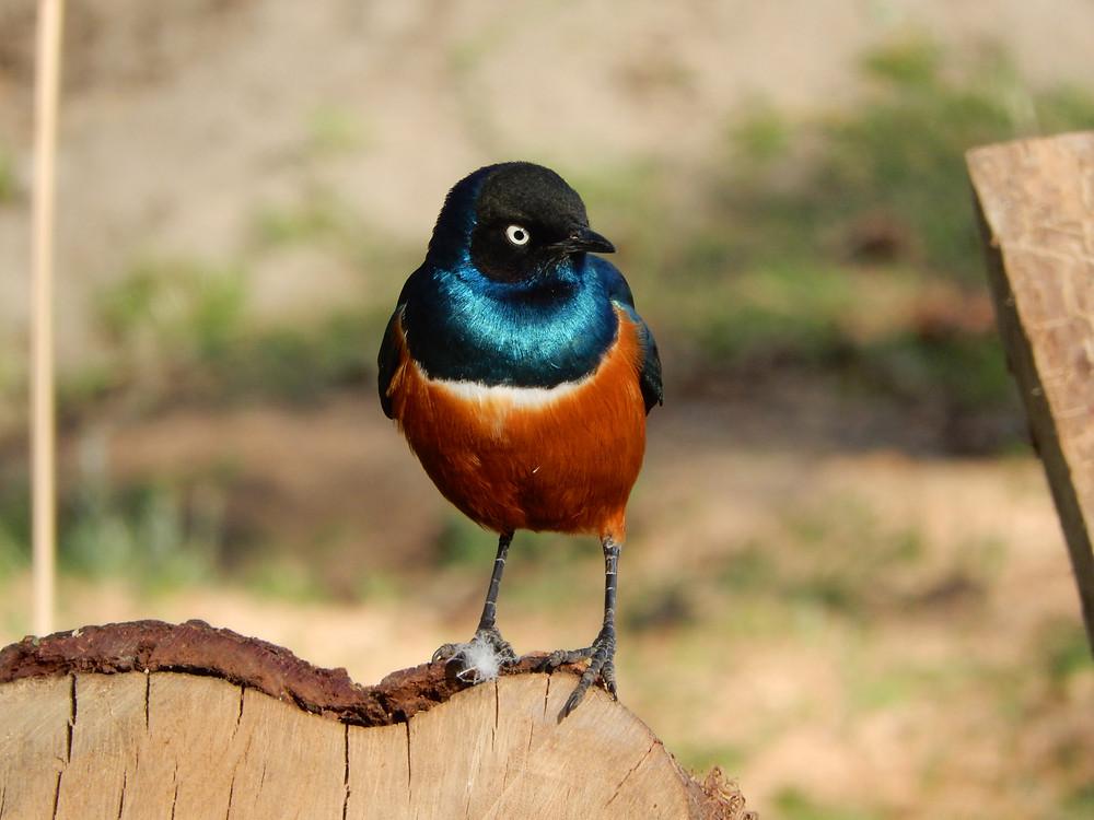 Superb Starling - Kenya, Chris Guggiari-Peel