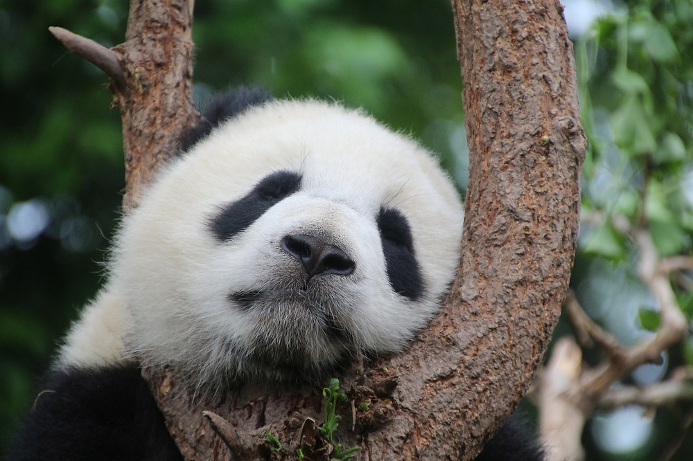 Panda reclining Photo courtesy of Pixabay public domain images -Cimberley