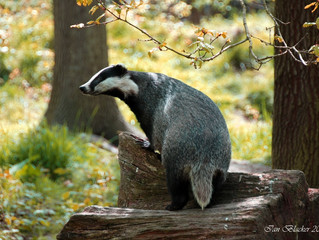 Bickering, Badgers, and Bovine TB
