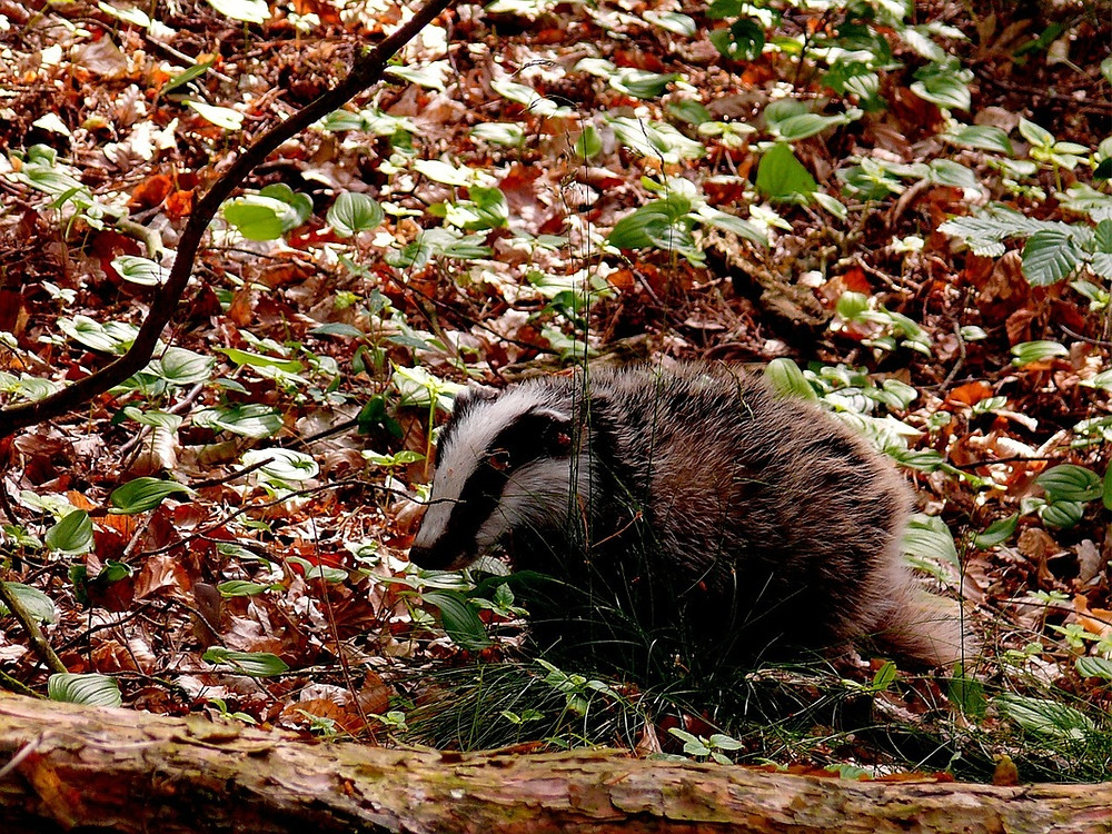 Badgers are considered a typical example of a keystone species Image courtesy of Pixabay @ StefanHoffmann