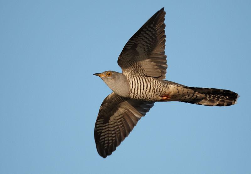 Common Cuckoo - https://commons.wikimedia.org/wiki/File:Cuculus_canorus_vogelartinfo.jpg - Vogelartinfo